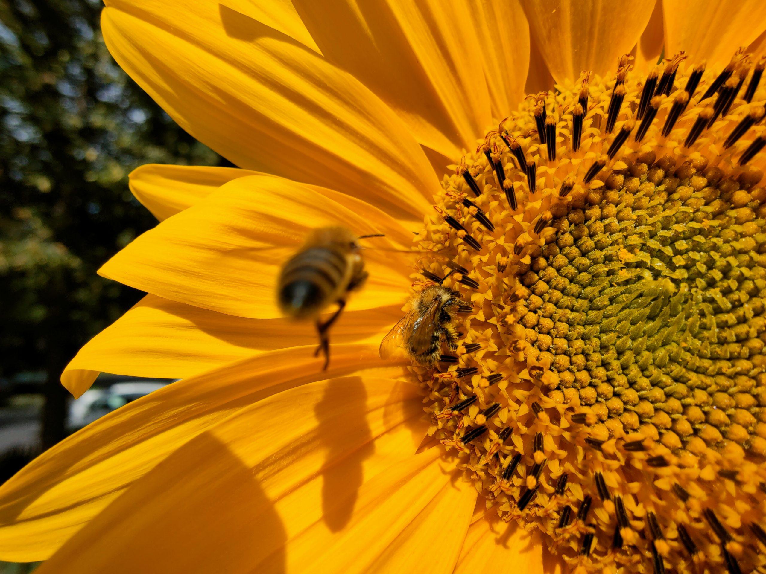 Biene im Anflug auf eine Sonnenblume